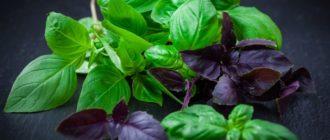 Как собрать семена базилика