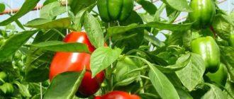 Как собрать семена болгарского перца