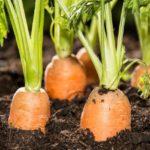 когда собирать семена моркови