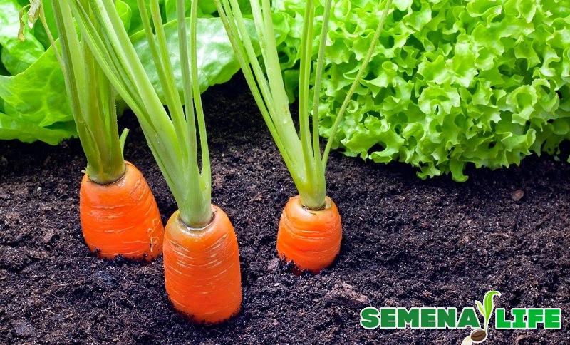 Какая морковь подходит для сбора семян