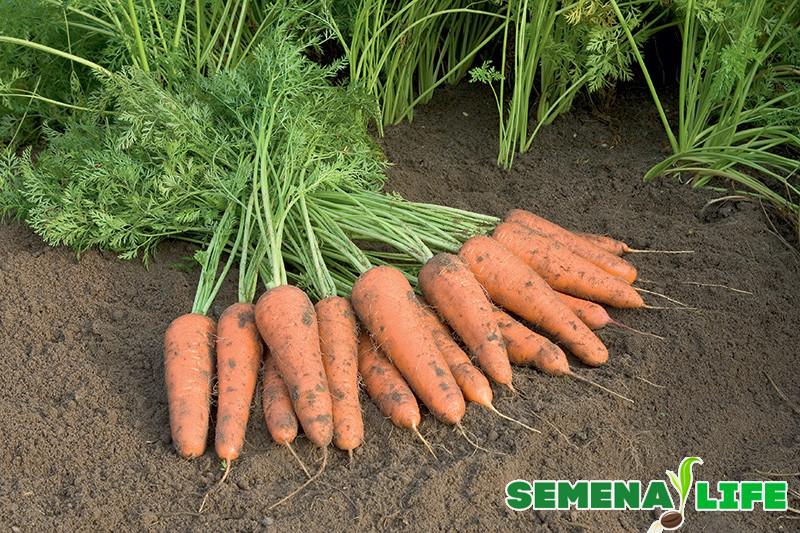Сроки и особенности сбора семян моркови