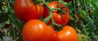 Гибрид томатов