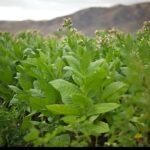 как собрать семена табака