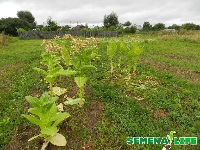 Как собрать семена с табака