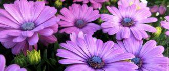 Остеоспермум: как собрать семена