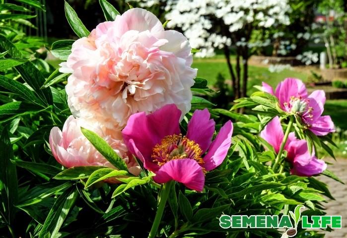 Ботанические сведения