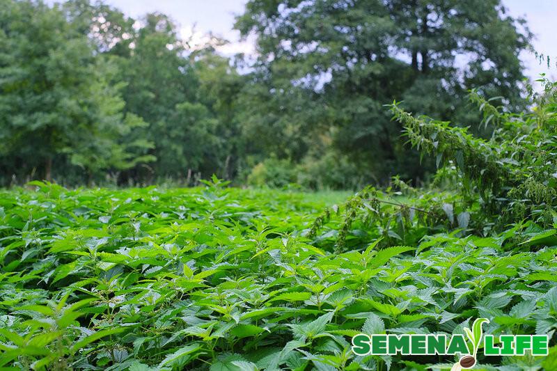 Где собирать семена крапивы